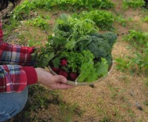 野菜収穫 冬