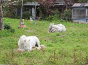 寝てる馬たち