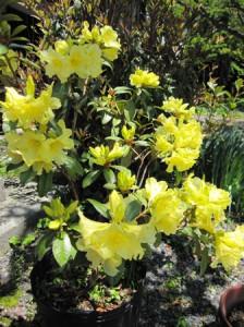 黄花シャクナゲ