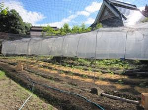 トマト苗畑