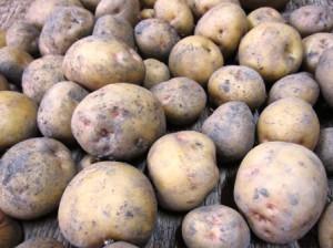 収穫ジャガイモ